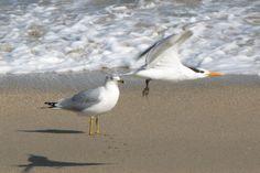 Tern fly-by Hutchinson Island FL