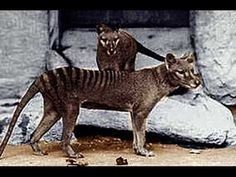 Thylacines - actual museum footage of a live critter walking around - that mouth is scary!
