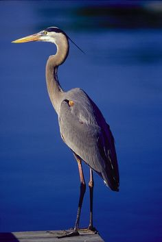 Beautiful Heron