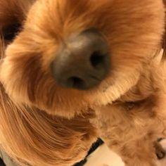 . 兎に角イヴの鼻と口が好き。wwww かわいいいいい、どうしてこんなに可愛いんだろう…毎日毎日イヴに言ってる…かわいい… 最近意地悪しすぎてイヴがヴーヴーゆう。ww それがまた可愛い🤣💖 愛すべきイヴ!!!かわいい。親バカ笑笑 . #コッカプー#いぬばか部#犬の鼻と口が好き #愛犬#マイメン#Love#イヴ#Ib#スペル間違えないでね#ほんとに溺愛してる可愛い可愛いいーちゃん❤️笑