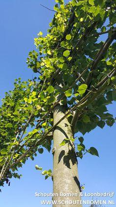 Voor mooie volwassen laan- en sierbomen bent u bij ons aan het goede adres! Wij verkopen oa deze prachtige leibomen in diverse maten.