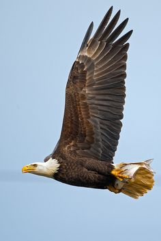 American Bald Eagle so beautiful All Birds, Birds Of Prey, Bald Headed Eagle, Eagle Artwork, Where Eagles Dare, Eagle Pictures, Wings Like Eagles, Eagle Wings, Funny Birds