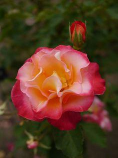 'Granada' | Hybrid Tea rose