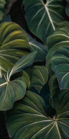 Flora, green leaf, veins, close up, wallpaper - LEAF FOCUS - Plants Plant Wallpaper, Iphone Background Wallpaper, Green Wallpaper, Tumblr Wallpaper, Aesthetic Iphone Wallpaper, Nature Wallpaper, Phone Backgrounds, Aesthetic Wallpapers, Wallpaper Jungle