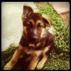 German Shepherd puppies. The absolute best! (Especially this one) :)
