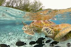 The green sea turtle, so named from the often green fat found beneath their carapace, is the only species in the genus Chelonia and is listed as endangered by the IUCN and CITES. Its range extends throughout tropical and subtropical seas worldwide including here in Bora Bora, French Polynesia.