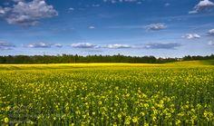 colza field... by grandpavlad via http://ift.tt/1XItOkE