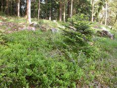 la forêt se couvre de buissons de myrtilles sauvages aux feuilles vert tendre tandis que les sapins petits ou grands font leur poussée vert clair