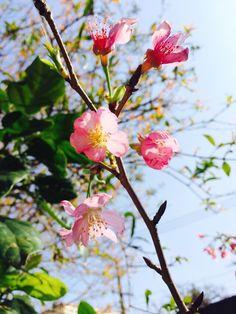 Sakura *