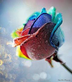 Rainbow Rose | Creative Photo | The Design Inspiration