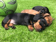 Champion sired miniature dachshund dog puppy | Llanelli, Carmarthenshire | Pets4Homes