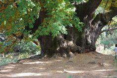 Castaño Santo (Holy Chestnut Tree) is in between San Pedro Alcántara and Las Conejeras