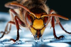 Hornet extrem Portrait Photograph by Wolfgang Korazija -- National Geographic Your Shot