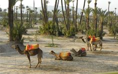 Marrakech Palmeraie Camel Ride incl. Pick up and drop off at your Hotel