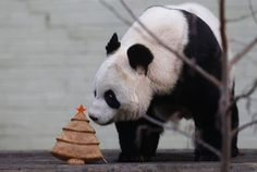 Christmas animals around the world..Merry Christmas♥♥ Lun Lun~Yang Yang~Mei Lan~Xi Lan~Po~Mei Huan~Mei Lun♥♥