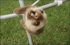 Share this A baby sloth falls over and hangs by it's feet Animated GIF with everyone. Gif4Share is best source of Funny GIFs, Cats GIFs, Reactions GIFs to Share on social networks and chat.