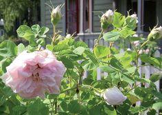 Rosa alba 'Minette' - Alba rose 'Minette' (Albaros, Nordisk ros)