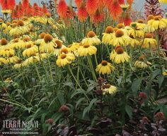 Echinacea 'Daydream' - 'Daydream' is a midsize plant with fabulous yellow to soft yellow flowers that bloom all summer long. Use en masse for the border, in a mixed bed, and as a cut flower. The sweet fragrance is just right for a lazy summer afternoon.