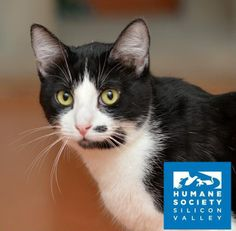 Stash is a quiet guy who loves to curl up -- in cat trees, boxes, and of course, laps!