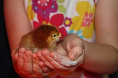 Back Yard Farming -- @René Deming, a blog on step-by-step how to raise chickens!