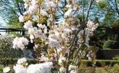 Prunus serrulata – Zierkirsche