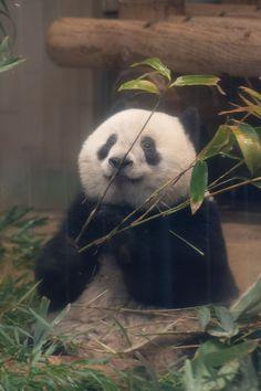 今日のパンダ(2433日目)   毎日パンダ Cute Photography, Animal Photography, Cute Dogs Breeds, Dog Breeds, Baby Panda Bears, Baby Pandas, Sleeping Panda, Animals And Pets, Cute Animals