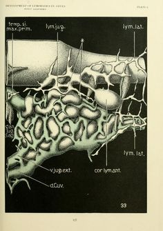 Nemfrog - tumblr Plate 6. Development of lymphatics in anura. The American Journal of Anatomy. 1922.