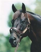 The beautiful, beguiling Seattle Slew (b. Feb. 15, 1974 - d. May 7, 2002, ages 28 years). A native of Lexington, Kentucky. The only horse to ever win the Triple Crown while remaining undefeated.