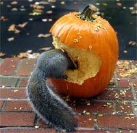 The Squirrel-Eating Pumpkin