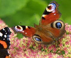 Peacock Butterfly 9A71D-12.JPG (512×420)