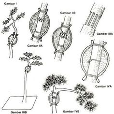 how to transplant bonsai, bonsai grafting, cara mencangkok bonsai