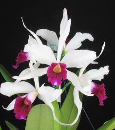 Orquidea Dendrobiums: variedades asiáticas