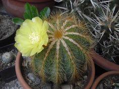 notocactus magnificus Cacti And Succulents, Cactus Plants, Cactus Flower, Garden Landscaping, Surat Thani, Landscape, Flowers, Yard, Gardening