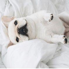 French Bulldog ❤️ @piggyandpolly on Instagram