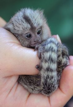 baby marmoset...don't know what that is, but it's too cute