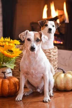Chad and Isis Maria S. #jackrussell #thanksgiving #dog #pet #photography