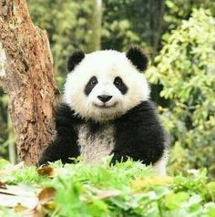 Giant Panda Zhi Hua (Dian Dian) at Bifengxia base. Oh what a wonderful world. Niedlicher Panda, Happy Panda, Panda Eyes, Cute Panda, Pandas Baby, Baby Panda Bears, Cute Little Animals, Cute Funny Animals, Funny Animal Pictures