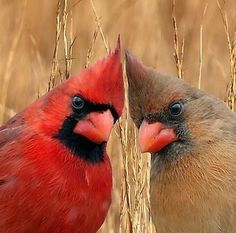 Birds, Butterflies, and A Bounty of Wings Pretty Birds, Love Birds, Beautiful Birds, Animals Beautiful, Beautiful Swan, State Birds, Cardinal Birds, Bird Pictures, Cardinal Pictures