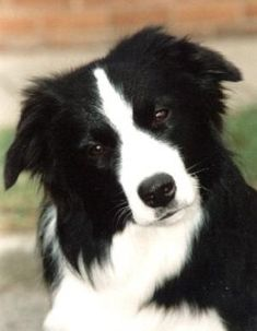 "Border Collie // Sh. Ch. Caristan Te'ar Maria at Goytre ""Tia"" 