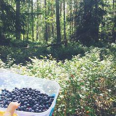 【sayurihys】さんのInstagramをピンしています。 《Swedish Summer: Berry Picking in Stockholm 今日はみんなでブルーベリー摘みに歩いて森へ #berry#blueberry#berrypicking#nature#forest#sunnyday#sun#swedishsummer#summer#sweden#スウェーデン#ストックホルム#森#ブルーベリー#ベリー#ブルーベリー摘み#みんなの森#木漏れ日#自然#雨のあと#涼しい#北欧#北欧の夏》