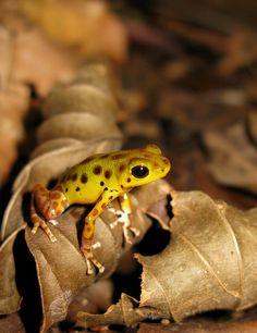Frog Mimitimbi River, Bocas del Drago, Panama,