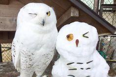 雪だるまと並んだシロフクロウがウィンク――。そんな瞬間を収めた写真が、ツイッター上で注目を集めています。