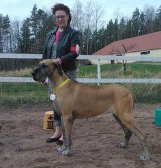 Tanskandoggi - Great Dane Horses, Animals, Animales, Animaux, Horse, Words, Animal, Animais
