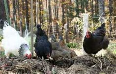 Keeping chickens, how to and the reasons why you should…from growveg.com