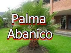 La Palma Abanico o Washingtonia robusta Irrigation, Youtube, New Mexico, Palms, Growing Up