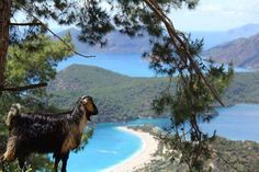 Goat is enjoying #Oludeniz view :-) http://www.traveltofethiye.co.uk/explore/attractions/oludeniz-blue-lagoon/