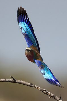 Lilac breasted roller approaching by Michael Rosenbaum | Coracias caudatus. Namibia, Africa.