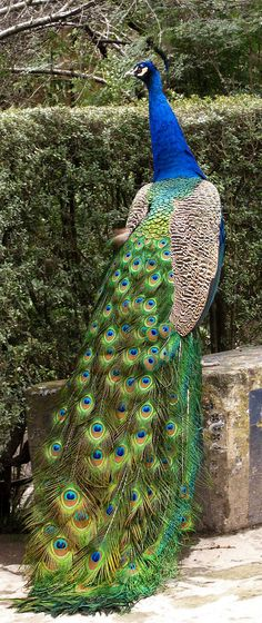 Looks like the Peacock we saw on vacation in Lake Geneva 💙 Pretty Birds, Love Birds, Beautiful Birds, Animals Beautiful, Exotic Birds, Colorful Birds, Exotic Pets, Peacock Pictures, Peacock Images