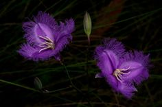 Fringed Lilies by GPNaturePhotos on Etsy, $45.00