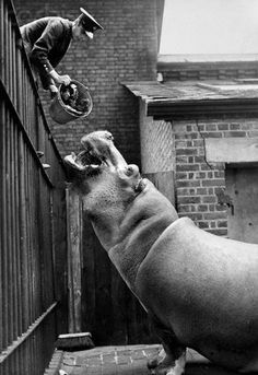 Zoo Keeper Feeds Hippopotamus. c.1945